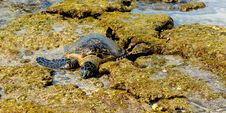 Free Green Turtle Resting On The Lava Rocks Royalty Free Stock Images - 24116939