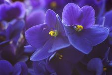 Violet Flowers. Royalty Free Stock Images