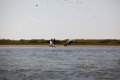 Free Pelicans Flying In Danube Delta Landscape Royalty Free Stock Photos - 24128758