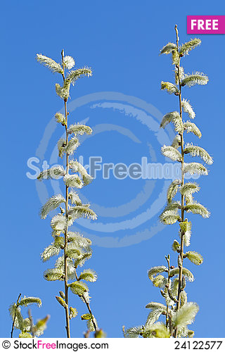 Free Pussy-willow Royalty Free Stock Photography - 24122577