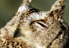 Free Collared Scops-owl Stock Photography - 24121812