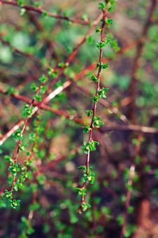 Free Fresh Leaves On Barberries Twig Stock Photos - 24122063