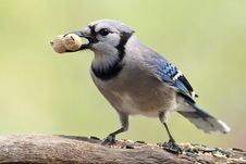 Sastified Blue Jay Stock Images