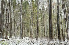 Free Forest In The Snow Royalty Free Stock Image - 24124606