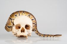 Free Python Crawling Over The Human Skull Stock Image - 24125341
