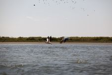 Pelicans Flying In Danube Delta Landscape Royalty Free Stock Photos