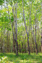 Free Rubber Plantation Stock Photography - 24131322