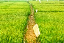 Free In The Rice Fields Royalty Free Stock Photo - 24130285