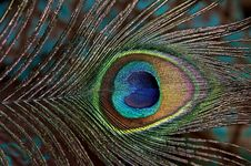 Free Peacock Feather. Royalty Free Stock Image - 24131626