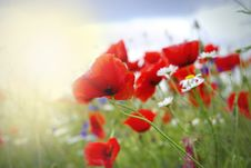 Free Poppy Red Stock Photos - 24135043