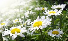 Free Daisy Flowers Royalty Free Stock Photo - 24135175