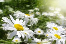 Free Daisies Stock Photography - 24135222