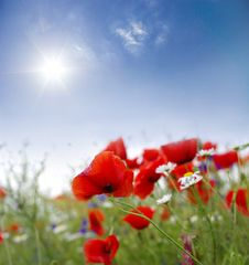 Free Poppy Red Stock Photography - 24136652