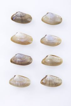 Clams Mollusk Stock Photo