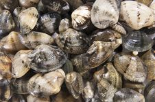 Free Clams Mollusk Stock Photo - 24138560