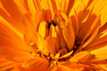 Free Marigold Royalty Free Stock Images - 24144399