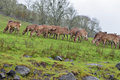 Free Herd Of Deer Grazing Stock Images - 24144414