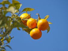 Free Tree Clementine Royalty Free Stock Photo - 24140435
