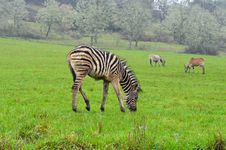 Free Zebra Royalty Free Stock Image - 24141956