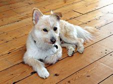 Pomeranian Cross Breed Dog Royalty Free Stock Photos