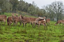 Free Herd Of Deer Stock Photography - 24144382