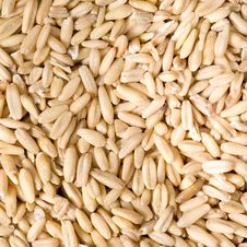 Free Oat Growth Stock Image - 24146351