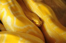 Free Yellow Snake Royalty Free Stock Images - 24149699