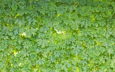 Free Green Leaf Wall Stock Image - 24153891