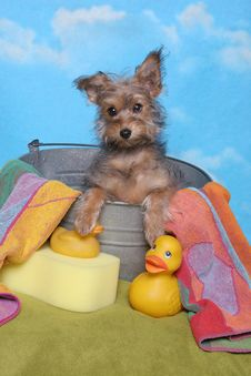 Free Yorkie Puppy In A Bath Tub Royalty Free Stock Photos - 24154308
