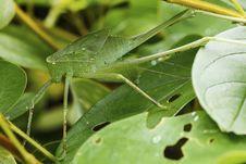 Grasshopper In Green Nature Stock Photo