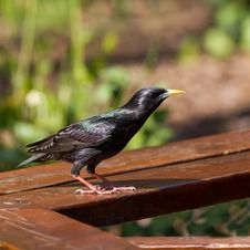 Free Starling Stock Photos - 24157413
