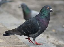 Free Rock-doves Stock Image - 24158781