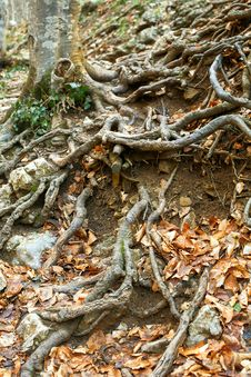 Free Wood Roots Stock Photo - 24158960