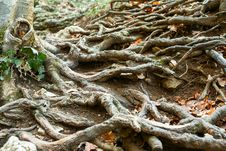 Free Wood Roots Stock Photography - 24159062