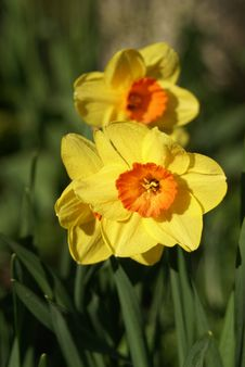 Spring Daffodil Stock Photography