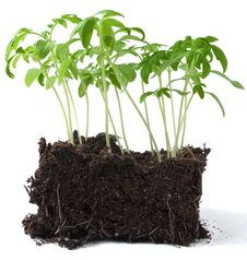 Free Tomatoes In The Soil Royalty Free Stock Photography - 24169377