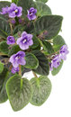 Free Violets Over White Royalty Free Stock Photos - 24171038