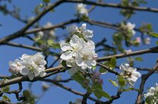Free Branch Of Blossoming Apple-tree In Spring Royalty Free Stock Image - 24173846