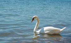 Free Swan Stock Image - 24173971