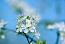 Free Blooming Blackthorn Tree Royalty Free Stock Photos - 24174768