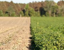Free Rows Of Peanut Crops Stock Photo - 24175700