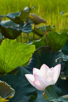 Free White Lotus Stock Photos - 24176773