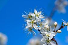 Free Blooming Blackthorn Tree Royalty Free Stock Photo - 24176815