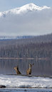 Free Two White Tail Deer At Snyder Creek 2 Royalty Free Stock Images - 24189169