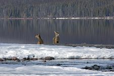 Free Two White Tail Deer At Snyder Creek 3 Royalty Free Stock Photos - 24189248