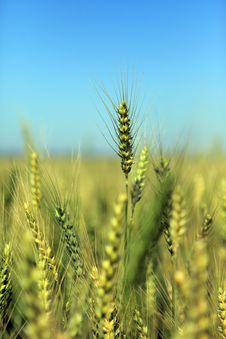 Free Field Of Green Wheat Royalty Free Stock Photos - 24191748