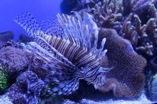 Free Lionfish Royalty Free Stock Photos - 24194238
