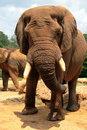 Free Weathered Elephant Royalty Free Stock Photography - 2421487