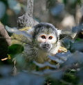 Free Common Squirrel Monkey 1 Royalty Free Stock Image - 2421776