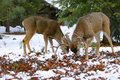 Free Young Mule Deer Royalty Free Stock Image - 2429006